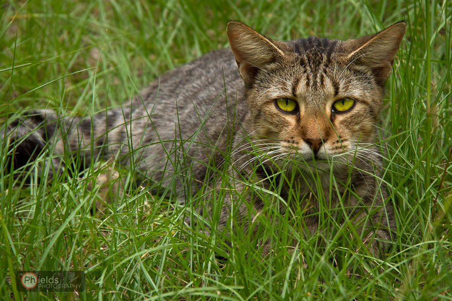 Country Cat Looking Serious in the Grass - Swainsboro, GA
