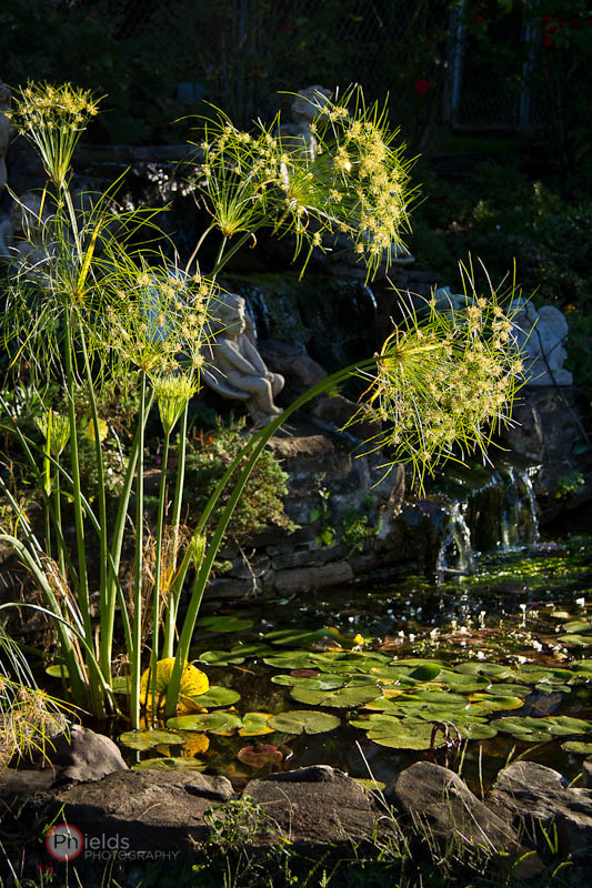 Papyrus plant grows in the pond