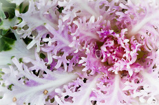 Purple and White Flowering Kale