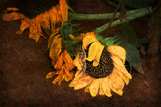 Fallen sunflower | Sunflower Festival, Rutledge, GA